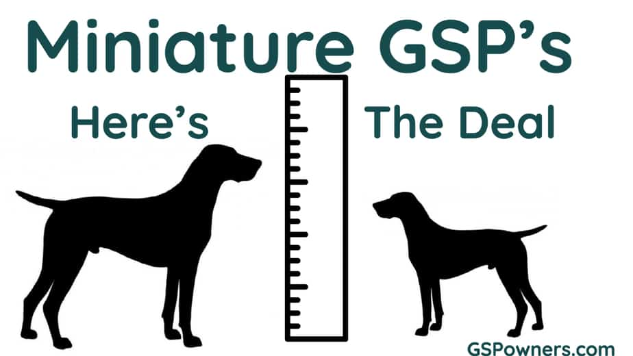 miniature-german-shorthaired-pointers