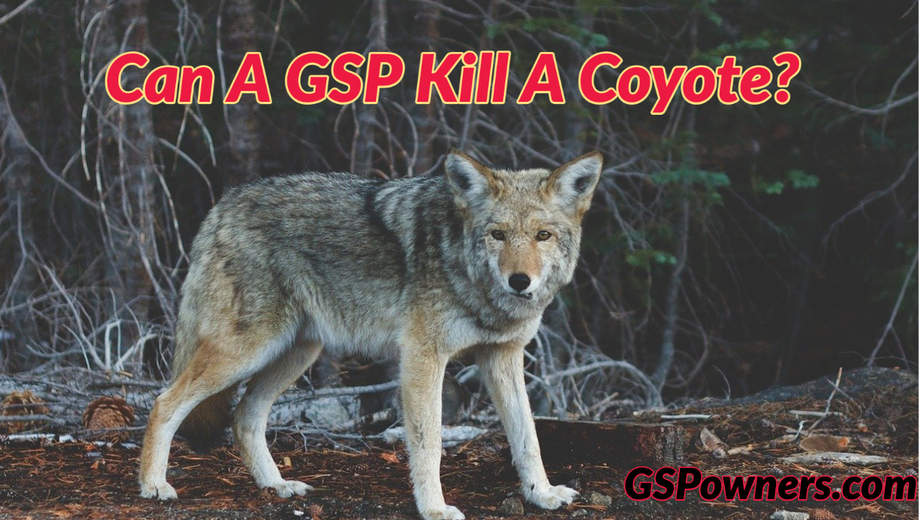 can-a-gsp-kill-a-coyote
