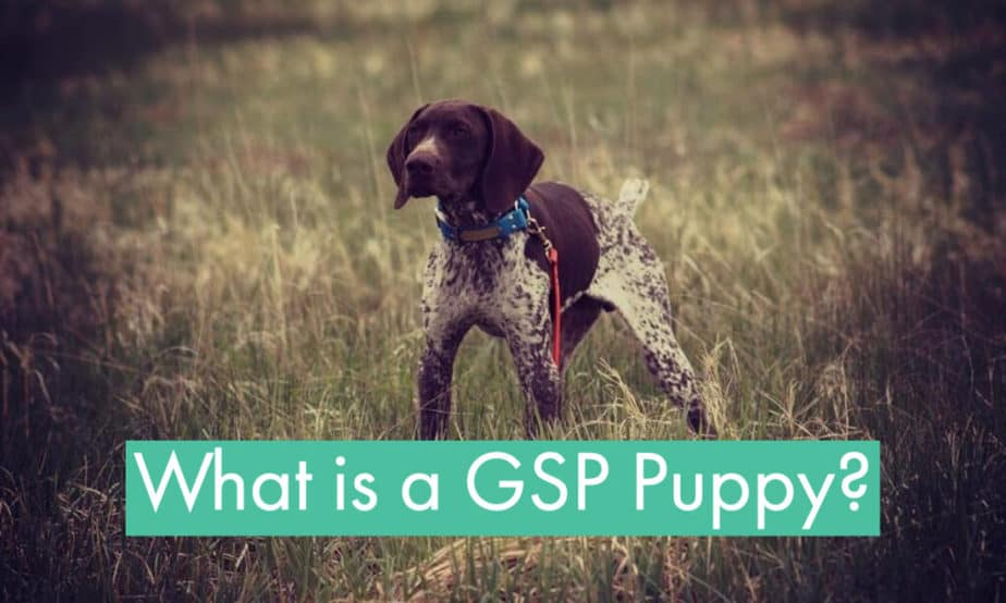 what-is-a-gsp-puppy