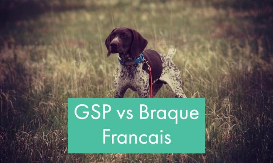 gsp-vs-Braque-Francais