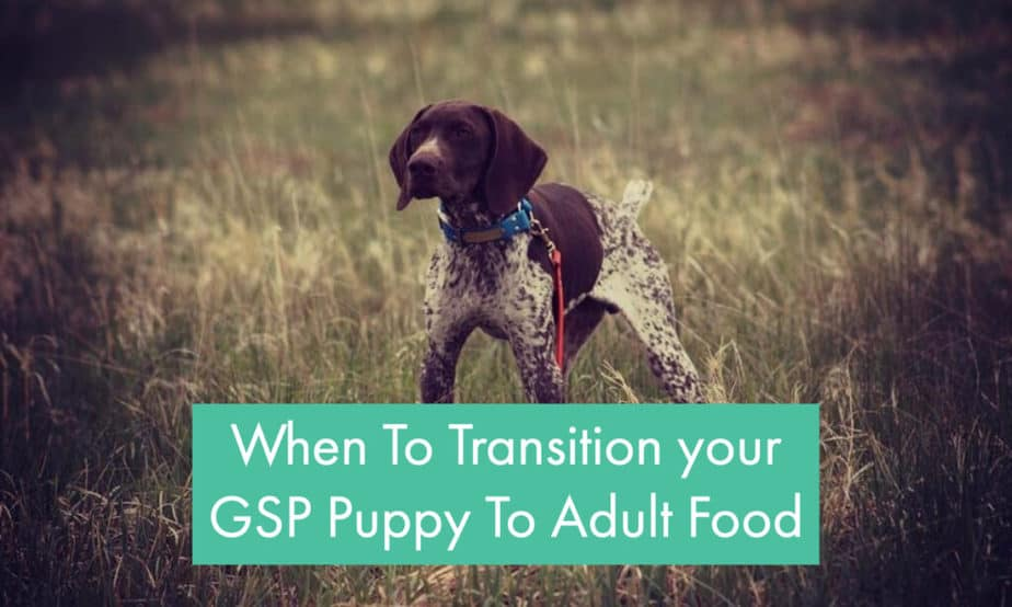 when-to-give-gsp-puppy-adult-food