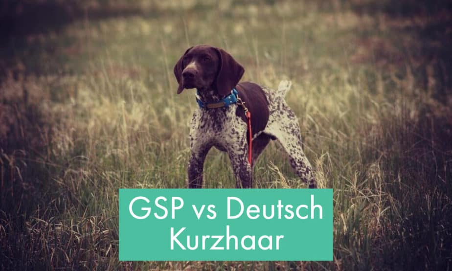 german-shorthaired-pointer-vs-Deutsch-Kurzhaar