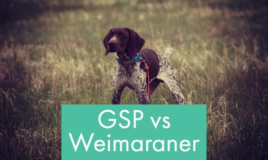 gsp-vs-weimaraner-compared-gun-dogs
