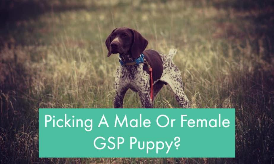 choosing-male-or-female-german-shorthaired-pointer