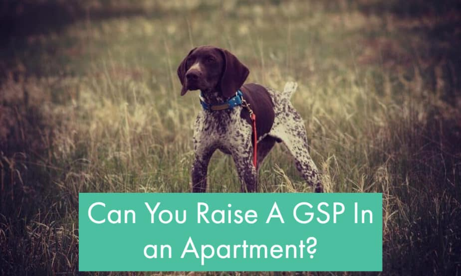 Can-You-Have-A-GSP-In-A-Apartment